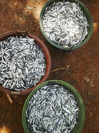 Tamban fish originally sold in Guimaras for P60 per kilo